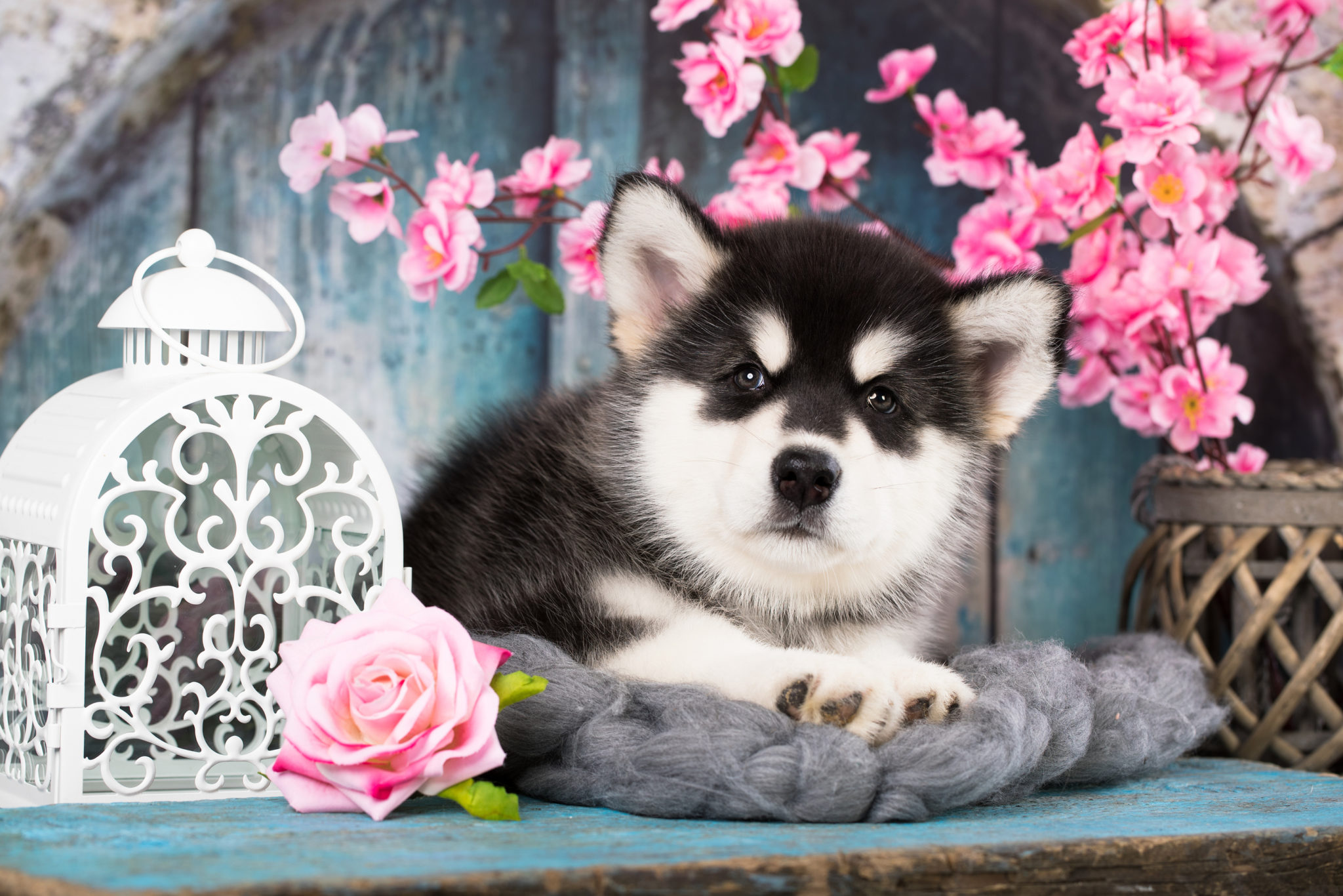 Alaskan Malamute puppy; black and white puppy with long fluffy h